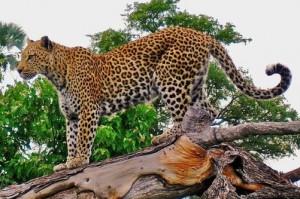 Macan Tutul Jawa Masuk Perangkap